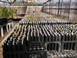 populus_greenhouse